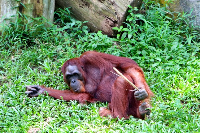 orangutan at Singapore Zoo